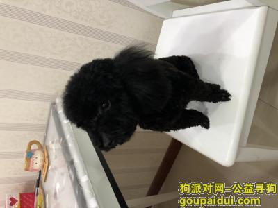 晋城寻狗网,黑色小泰迪,请大家帮忙让它回家,它是一只非常可爱的宠物狗狗,希望它早日回家,不要变成流浪狗。
