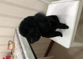 寻狗启示,黑色小泰迪,请大家帮忙让它回家,它是一只非常可爱的宠物狗狗,希望它早日回家,不要变成流浪狗。