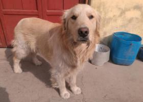 寻狗启示,临汾邓庄镇小王村丢失金毛犬,它是一只非常可爱的宠物狗狗,希望它早日回家,不要变成流浪狗。