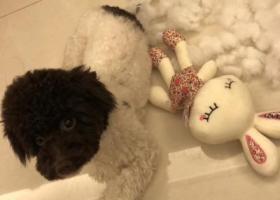 寻狗启示,天津市梅江富力津门湖嘉郡花园 头黑身白小泰迪,它是一只非常可爱的宠物狗狗,希望它早日回家,不要变成流浪狗。