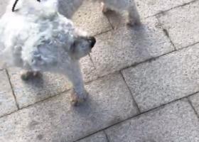 寻狗启示,邻居的深圳南油捡到白色泰迪,它是一只非常可爱的宠物狗狗,希望它早日回家,不要变成流浪狗。