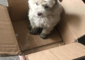 寻狗启示,比熊串串28号晚上走丢,白色两只耳朵淡黄色,走丢时正在生病不能洗澡因此身上比较脏,它是一只非常可爱的宠物狗狗,希望它早日回家,不要变成流浪狗。
