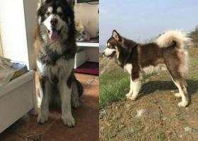 寻狗启示,重庆市渝北区回兴东衡滨城小区寻找阿拉斯加,它是一只非常可爱的宠物狗狗,希望它早日回家,不要变成流浪狗。