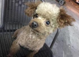 寻狗启示,3月30日晚在广州白云远景路捡到一只公的泰迪,它是一只非常可爱的宠物狗狗,希望它早日回家,不要变成流浪狗。