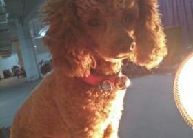 寻狗启示,成都锦江区寻泰迪,狗狗咖啡色2岁,它是一只非常可爱的宠物狗狗,希望它早日回家,不要变成流浪狗。