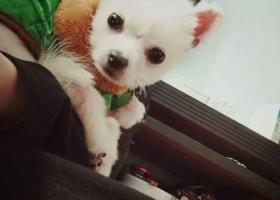 寻狗启示,重庆渝北区重金寻找丢失博美,它是一只非常可爱的宠物狗狗,希望它早日回家,不要变成流浪狗。