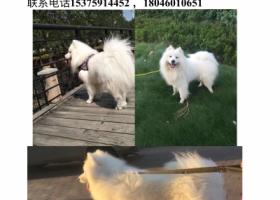 寻狗启示,寻狗启示萨摩耶,好心人请帮助我的家人回家,它是一只非常可爱的宠物狗狗,希望它早日回家,不要变成流浪狗。