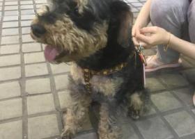 寻狗启示,寻雪纳瑞狗主子(广州龙归),它是一只非常可爱的宠物狗狗,希望它早日回家,不要变成流浪狗。