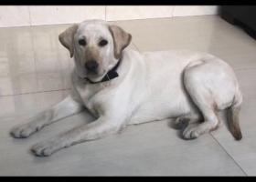 寻狗启示,广汉市向阳镇工业园向新路酬谢三千元寻找拉布拉多,它是一只非常可爱的宠物狗狗,希望它早日回家,不要变成流浪狗。