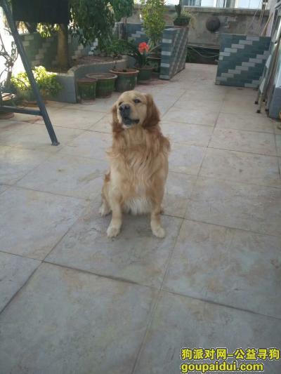 凉山寻狗网,4岁金毛,与3月30日在家门口丢失,它是一只非常可爱的宠物狗狗,希望它早日回家,不要变成流浪狗。