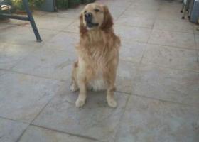 寻狗启示,4岁金毛,与3月30日在家门口丢失,它是一只非常可爱的宠物狗狗,希望它早日回家,不要变成流浪狗。