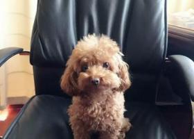 寻狗启示,寻找浅棕色贵宾犬  女儿的好朋友,它是一只非常可爱的宠物狗狗,希望它早日回家,不要变成流浪狗。