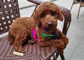 寻狗启示,寻狗启示(成都市抚琴西路),它是一只非常可爱的宠物狗狗,希望它早日回家,不要变成流浪狗。