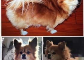 寻狗启示,成都丢失爱狗近一个月,它是一只非常可爱的宠物狗狗,希望它早日回家,不要变成流浪狗。