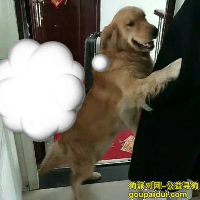 【连云港找狗】,找一只金毛 名字叫小猪 3.31日走丢 急!,它是一只非常可爱的宠物狗狗,希望它早日回家,不要变成流浪狗。