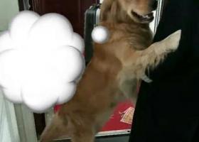寻狗启示,找一只金毛 名字叫小猪 3.31日走丢 急!,它是一只非常可爱的宠物狗狗,希望它早日回家,不要变成流浪狗。