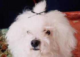 北京市房山区加州水郡寻与4.2上午丢失的五岁爱犬