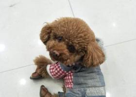 寻狗启示,寻找我的小泰迪平安求好心人多帮帮忙,它是一只非常可爱的宠物狗狗,希望它早日回家,不要变成流浪狗。