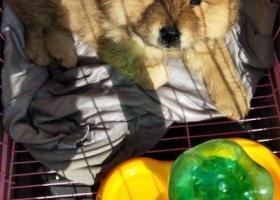 寻狗启示,寻狗启示(四个月大淡棕色松狮),它是一只非常可爱的宠物狗狗,希望它早日回家,不要变成流浪狗。