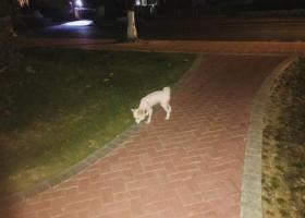 寻狗启示,广州芳村桥东小区附近寻白色银狐狗狗,它是一只非常可爱的宠物狗狗,希望它早日回家,不要变成流浪狗。
