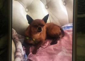 寻狗启示,寻找棕色小鹿犬 呼和浩特赛罕区扶贫楼附近,它是一只非常可爱的宠物狗狗,希望它早日回家,不要变成流浪狗。