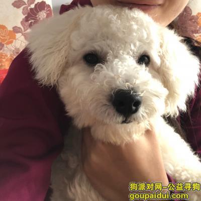 许昌找狗,许昌寻一岁半白色比熊,它是一只非常可爱的宠物狗狗,希望它早日回家,不要变成流浪狗。