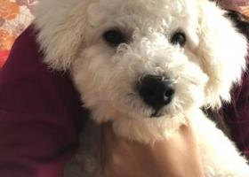 寻狗启示,许昌寻一岁半白色比熊,它是一只非常可爱的宠物狗狗,希望它早日回家,不要变成流浪狗。