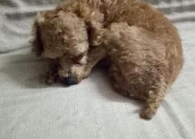寻狗启示,寻一只泰迪狗名叫乐乐,他走丢了,它是一只非常可爱的宠物狗狗,希望它早日回家,不要变成流浪狗。