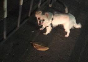 寻狗启示,在花都区新华街道这边看见的,它是一只非常可爱的宠物狗狗,希望它早日回家,不要变成流浪狗。