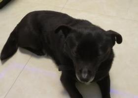 寻狗启示,大渡口捡到小黑狗一只,它是一只非常可爱的宠物狗狗,希望它早日回家,不要变成流浪狗。