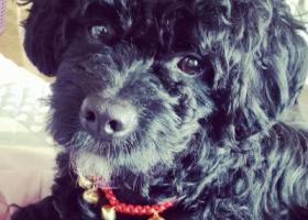寻狗启示,2018.4.5丢失黑色小卷狗狗,金牛天回镇碧桂园附近,它是一只非常可爱的宠物狗狗,希望它早日回家,不要变成流浪狗。