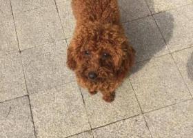 寻狗启示,帮泰迪狗狗寻找主人的,它是一只非常可爱的宠物狗狗,希望它早日回家,不要变成流浪狗。