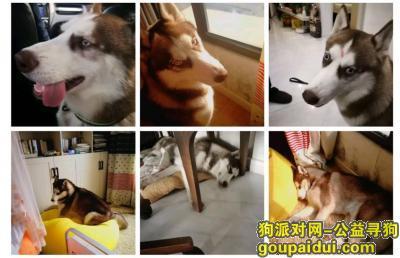 镇江寻狗启示,镇江京口区北固湾宝鼎木桥寻找哈士奇,它是一只非常可爱的宠物狗狗,希望它早日回家,不要变成流浪狗。