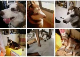 寻狗启示,镇江京口区北固湾宝鼎木桥寻找哈士奇,它是一只非常可爱的宠物狗狗,希望它早日回家,不要变成流浪狗。