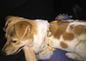 寻狗启示,本人由于2018年四月五号在广州番禺区穗石村丢失一只狗,它是一只非常可爱的宠物狗狗,希望它早日回家,不要变成流浪狗。