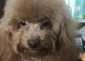 寻狗启示,苏州吴中区碧波街寻狗,它是一只非常可爱的宠物狗狗,希望它早日回家,不要变成流浪狗。