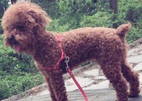 寻狗启示,苏州市太仓市人民北路郑和西路重金寻找泰迪,它是一只非常可爱的宠物狗狗,希望它早日回家,不要变成流浪狗。