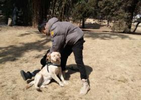 寻狗启示,市南区小鱼山公园附近丢失 拉布拉多 母,它是一只非常可爱的宠物狗狗,希望它早日回家,不要变成流浪狗。