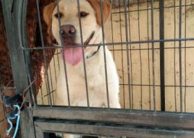 寻狗启示,市南区 小鱼山公园附近 拉布拉多母,它是一只非常可爱的宠物狗狗,希望它早日回家,不要变成流浪狗。