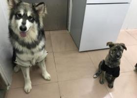 寻狗启示,广州白云区江夏村寻狗,它是一只非常可爱的宠物狗狗,希望它早日回家,不要变成流浪狗。