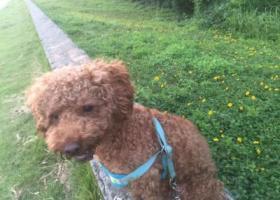 寻狗启示,重金寻公泰迪,东莞市寮步镇西溪村,它是一只非常可爱的宠物狗狗,希望它早日回家,不要变成流浪狗。