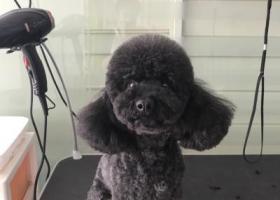 寻狗启示,合肥市庐阳区北二环桃花社区电厂路寻找黑泰迪,它是一只非常可爱的宠物狗狗,希望它早日回家,不要变成流浪狗。