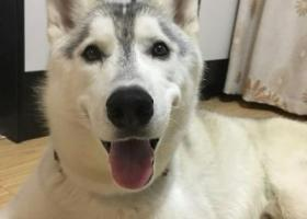 寻狗启示,天津静海丢失灰色公狗哈士奇  【现金酬谢】,它是一只非常可爱的宠物狗狗,希望它早日回家,不要变成流浪狗。
