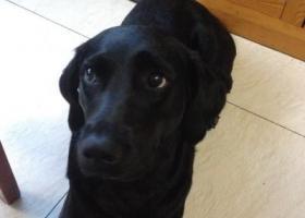 寻狗启示,寻狗启示,黑色拉布拉多,它是一只非常可爱的宠物狗狗,希望它早日回家,不要变成流浪狗。