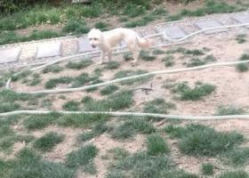 郑州市二七区隆福国际小区发现遗失白色宠物狗一只,估计3月下旬丢失的。