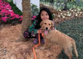 寻狗启示,我最可爱的金毛去那儿了,它是一只非常可爱的宠物狗狗,希望它早日回家,不要变成流浪狗。