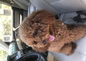寻狗启示,苏州谁家的泰迪宝宝丢失了?请丢失主人看过来。急急急!,它是一只非常可爱的宠物狗狗,希望它早日回家,不要变成流浪狗。