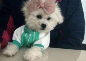 寻狗启示,4月7号在白云区太和镇沙井西路丢失5个月大比熊母狗一只,它是一只非常可爱的宠物狗狗,希望它早日回家,不要变成流浪狗。