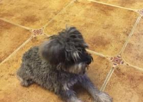 寻狗启示,塘沽区欧美小镇附近捡到雪纳瑞,它是一只非常可爱的宠物狗狗,希望它早日回家,不要变成流浪狗。