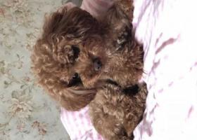 寻狗启示,苏州常熟市丢了公泰迪狗狗 希望大家帮忙找 找到必有重谢!,它是一只非常可爱的宠物狗狗,希望它早日回家,不要变成流浪狗。